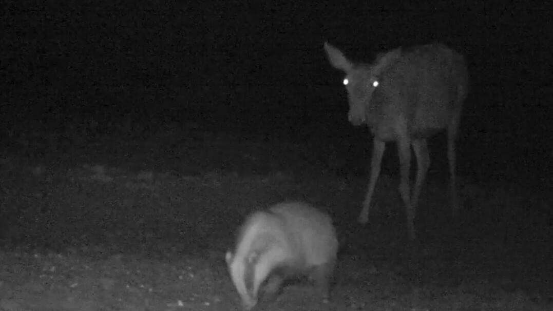 Nocne spotkanie łani i borsuka uchwycone przez fotopułapkę