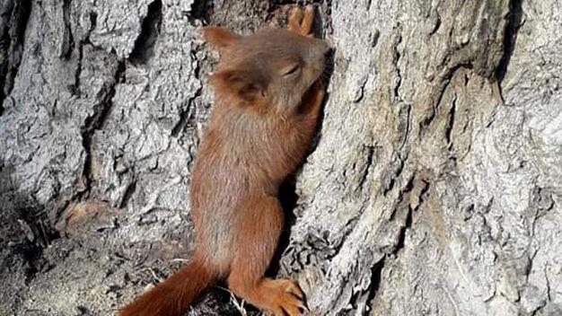 Kawki zaatakowały małą wiewiórkę. Ledwo uszła z życiem
