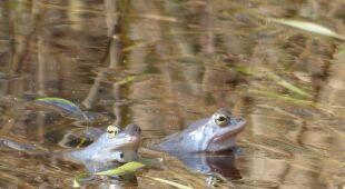 Żaby moczarowe rozpoczęły gody