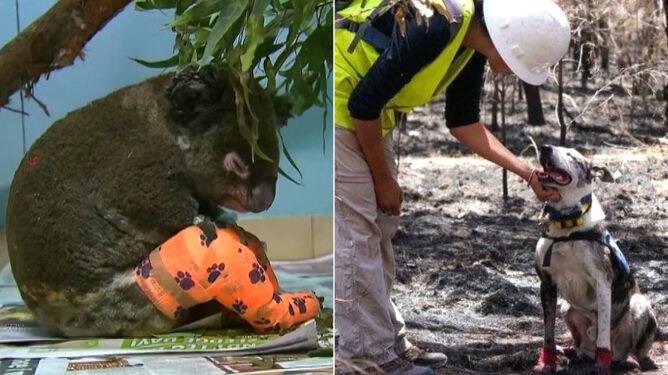 Pies o imieniu Niedźwiedź ratuje koale z pożarów