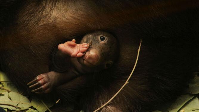 """Zaskakująca historia z życia wombatów. <br />""""Nie podejrzewaliśmy, że zostanie ojcem"""""""