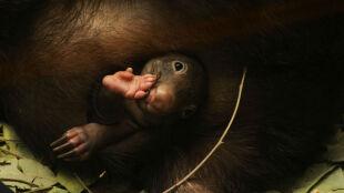 """Zaskakująca historia z życia wombatów. """"Nie podejrzewaliśmy, że zostanie ojcem"""""""