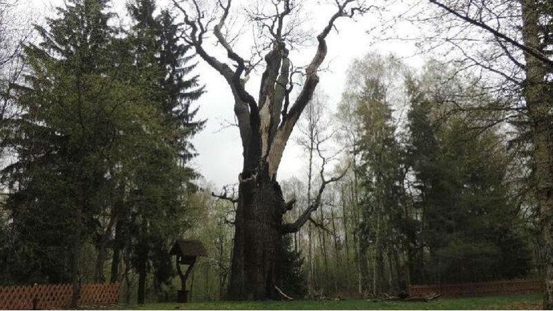 Tak obecnie wygląda dąb Chrobry (fot. Bartłomiej Wrażeń/Lasy Państwowe)