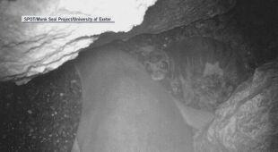 Mniszka śródziemnomorska to najrzadsze foki na świecie