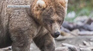 W Alasce urządzany jest plebiscyt na grubego niedźwiedzia