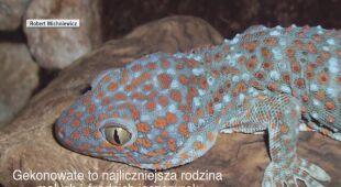 Gekony to najliczniejsza grupa małych i średnich jaszczurek